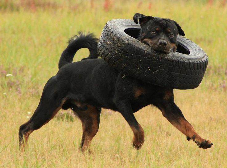 #Funny #Rottweiler