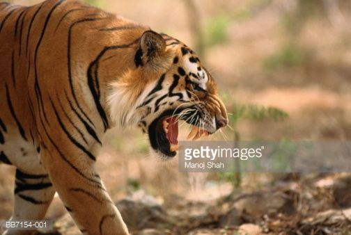 Indian tiger. Karnataka, India. Bengal tigers are an endangered species with only an estimated 3,000-4,800 animals left in the wild. Native to a variety of habitats in India and South East Asia.