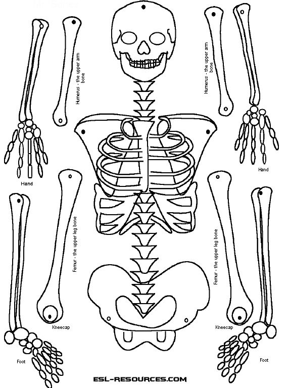 25+ Best Ideas about Human Skeleton For Kids on Pinterest | Skeleton ...