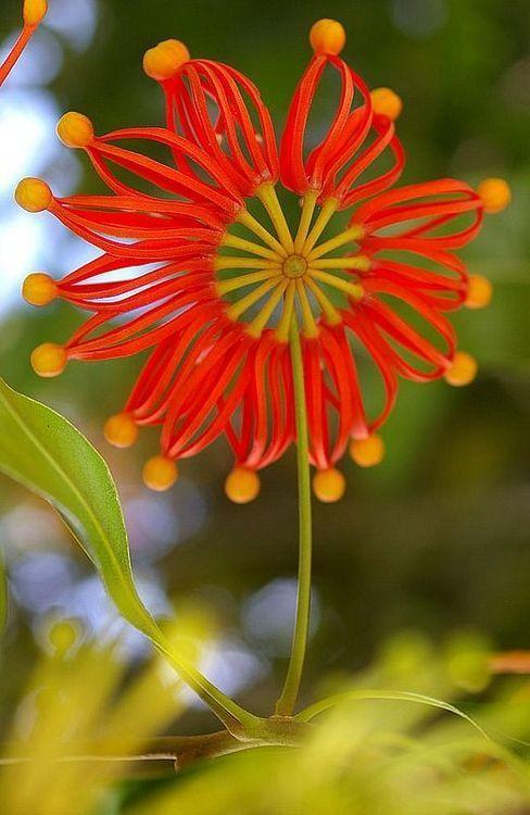 Stenocarpus sinuatus, known as the Firewheel Tree is an Australian rainforest tree