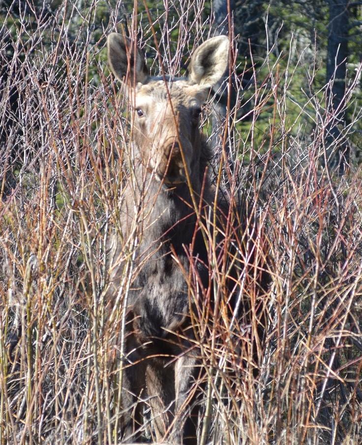 White Lake Provincial Park- Moose