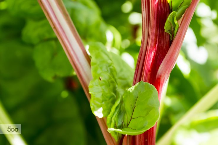 Red spinach beet