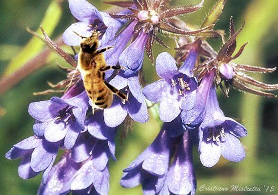 over 10 SeedsMoltkia petraea bees beekeeping di HoneyTreeandBehind