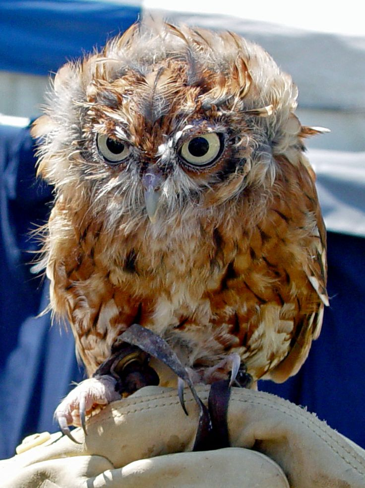 Southern Boobook Owl Bird Image - http://www.petandanimals.com/southern-boobook-owl-bird-image/