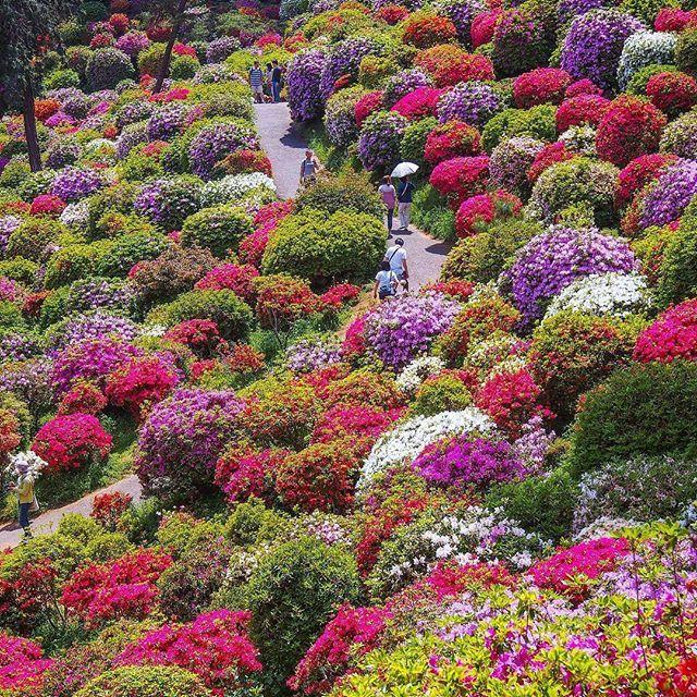 🌎Цветение азалии | Оме-сити | Токио | Япония.🇯🇵  📝Япония настолько разнообразная страна, что делать в ней открытия можно каждый день. Неудивительно, что ежегодно множество туристов притягивает к себе Япония, открывая для них красивые места и яркие события.  В конце мая, в сезон цветения азалий,🌻 одним из таких мест является храм Шиофуне Канон-дзи (Shiofune Kannon-ji). Этот храм построен почти 1300 лет тому назад на холмах, которые весной покрываются бесчисленным количеством цветов🌼…
