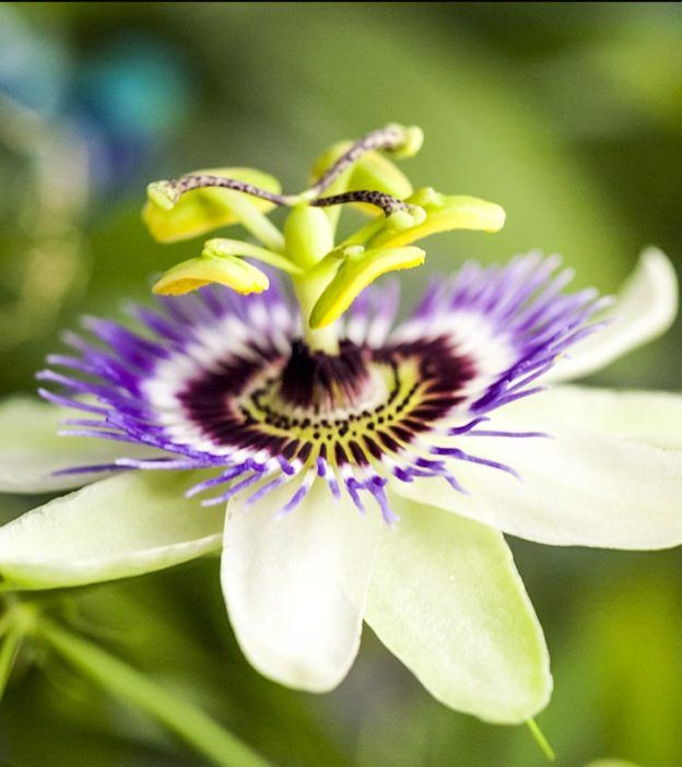 Top 10 Most Beautiful Passion Flowers Passion Flower Evergreen Climbers Vista Garden