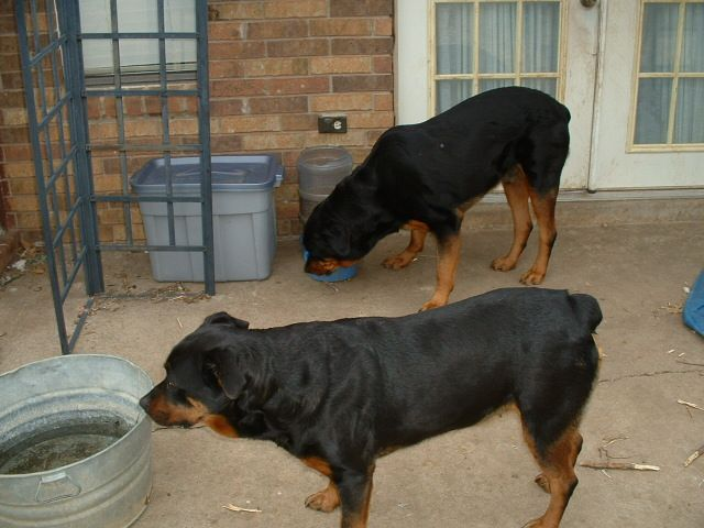 Rottweiler dog photo   Rottweilers - Dogs Photo Gallery - Dog Photos & Pictures - Rotties