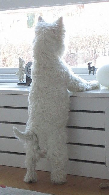 Our Westie does this looking out window pose many times a day.