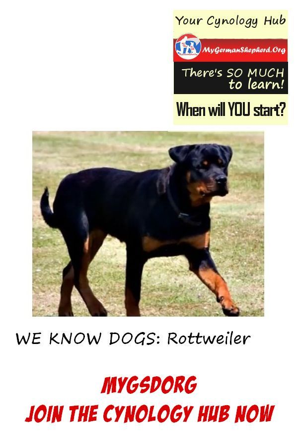 We Know Dogs Rottweiler Dog Breed Mygsdorg Join The Cynology