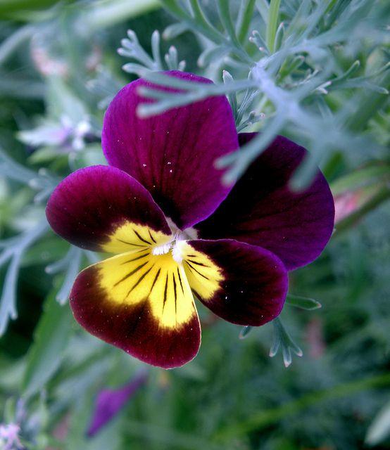 Pansy (Viola cornuta)