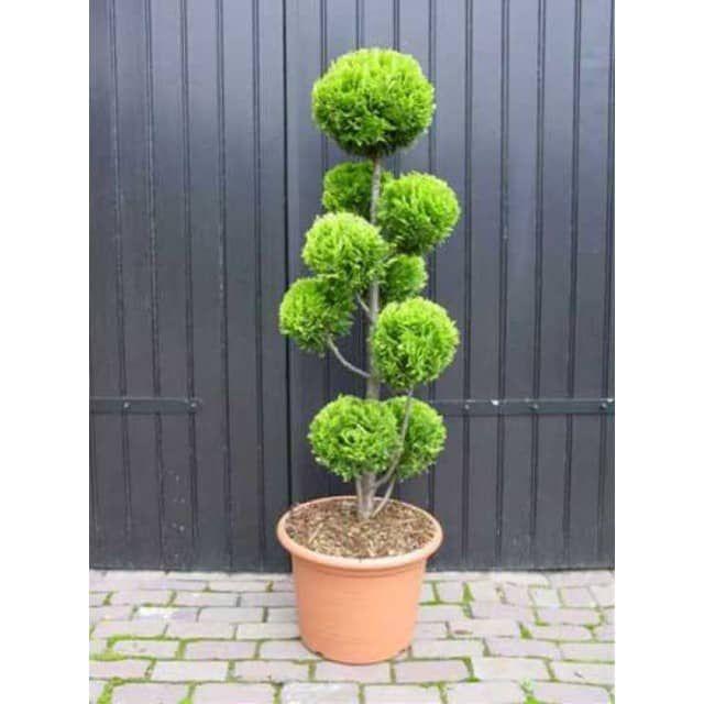 Amazing Chamaecyparis lawsoniana uStardust u Pon Pon extra Garten Bonsai Baumschule NewGarden