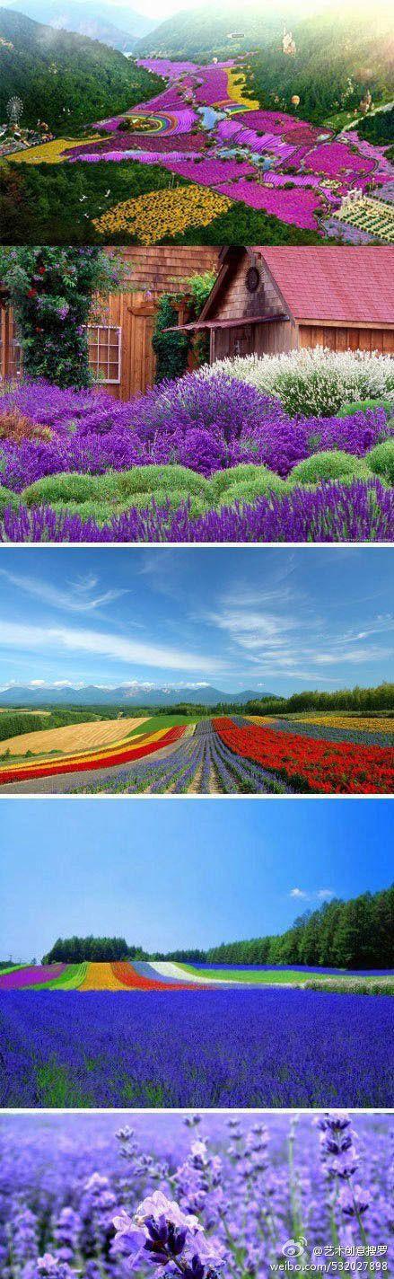 Australia's big four best lavender farm
