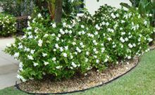 """Frost Proof"" Gardenia - foundation planting for north exposure, wonderful double flowers with that intoxicating gardenia scent."