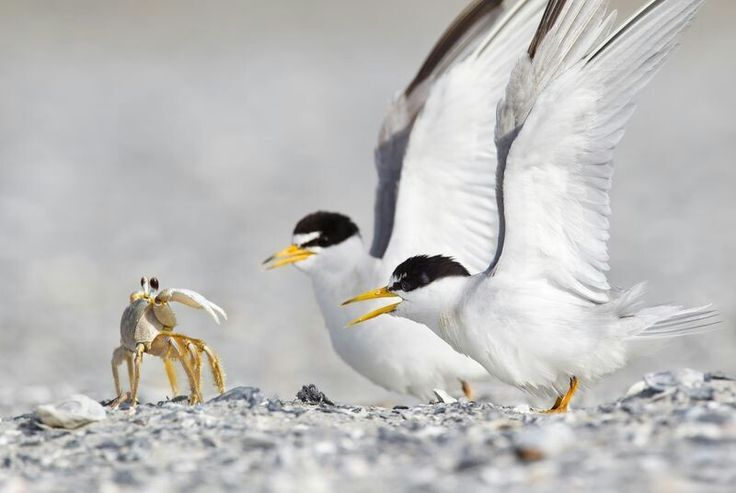 DECEMBER 20, 2017FEELING CRABBY  A ghost crab faces off with two least terns after getting too close to their nest in Murrells Inlet, South Carolina. Both least tern parents protect and incubate their nests, and both tend to their young after they hatch.  PHOTOGRAPH BY STEVE ELLWOOD,