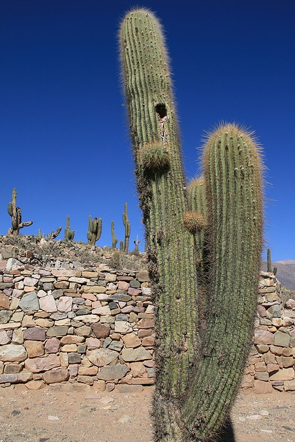 One of the ubiquitous cactii at the Pucará in Tilcara - Quebrada de Humahuaca, Jujuy proivince, northwest Argentina.