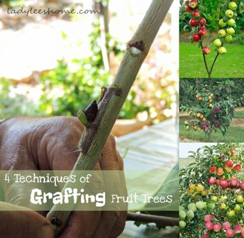 4 Techniques of Grafting Homesteading Fruit Trees