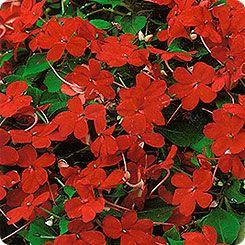 Бальзамин Милашка Красная, 0,1 г