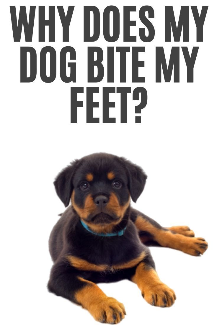 Why Your Dog Bites Your Feet In 2020 Rottweiler Puppies Dog Biting Rottweiler