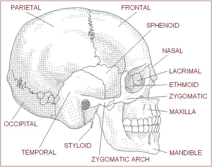 Anatomy of the skull labeling