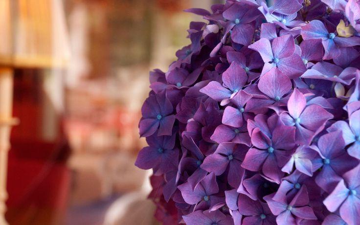 фиолетовые пионы обои: 3 тыс изображений найдено в Яндекс.Картинках