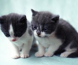 If kittens are too young for chemical flea treatment, a safe option is bathing them in Dawn or any gentle dish washing detergent. The kittens won't like it, but it is safe for them. You may wrap kittens in a small towel to keep from getting scratched and to keep them calm. Wet them down, apply the soap and let the lather remain on the skin for about five minutes. Rinse very thoroughly. The bath can be followed by using a flea comb to remove dead and stunned fleas.