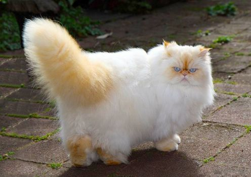 Red Point Himalayan cat!
