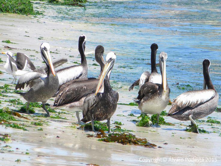 Pelicanos salvajes