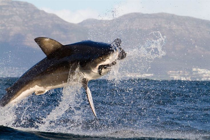 Great White shark catching fur seal at Seal Island