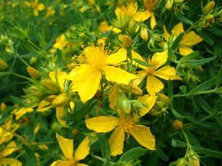 Guilded Gardens: Harvesting & Making Your Own Medicine & Tea from St John's Wort