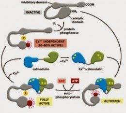 CaM Kinase II, Ca ++/calmodulin Dependent Protein Kinase