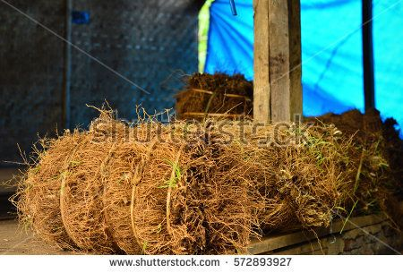 Image result for vetiveria zizanioides photo stock photo