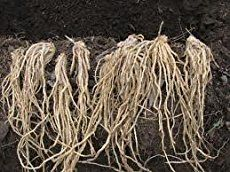 Planting asparagus crowns - what you need to know to plant the crowns and grow asparagus to eat.