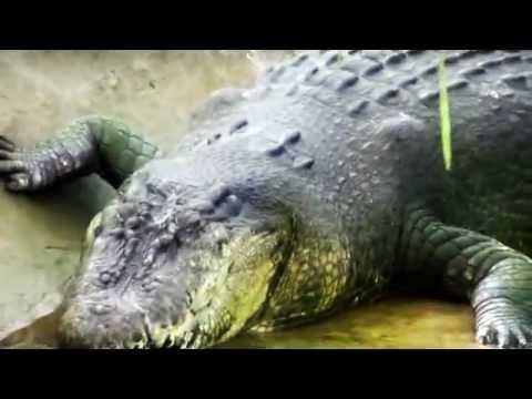 The World's Biggest Crocodile Captured - Lolong Now In Guinness World Records 2012