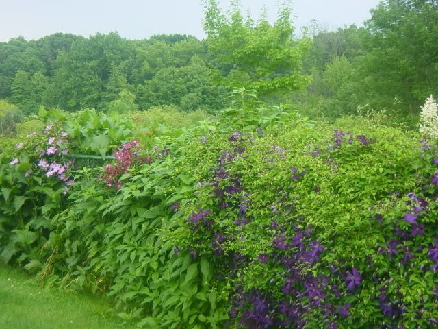 clematis to cover chain link fence this is jackmanii planted all along fence line with others. Black Bedroom Furniture Sets. Home Design Ideas