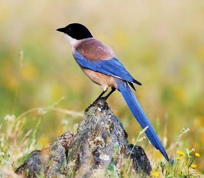 Birds of the World: Azure-winged magpie