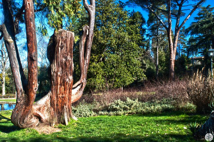The ancient tree in HDR (garden Bobolino - Florence - Italy)