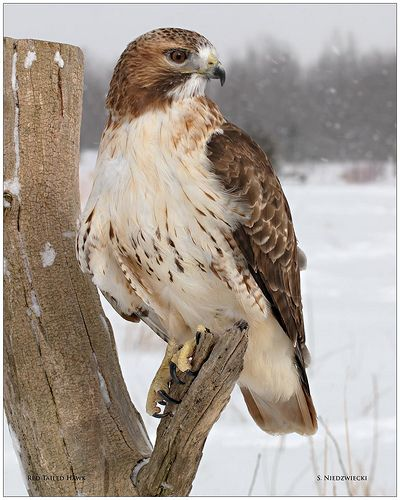 Red-Tailed Hawk in Winter | Michigan Moments