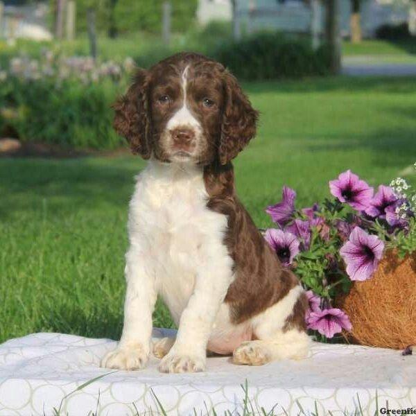 English Springer Spaniel Springer Spaniel Puppies Spaniel Puppies For Sale English Springer Spaniel