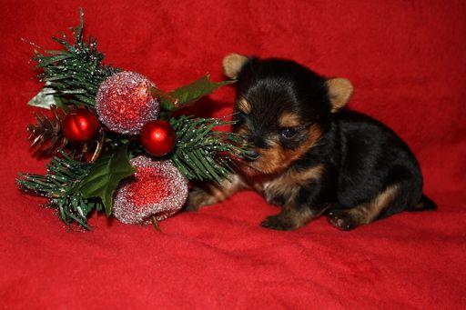 Litter of 3 Yorkshire Terrier puppies for sale in PLANT CITY, FL. ADN-52670 on PuppyFinder.com Gender: Female. Age: 3 Weeks Old