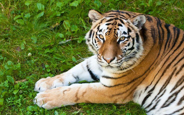 A Tigers Stare © 2011 Yngve Thoresen