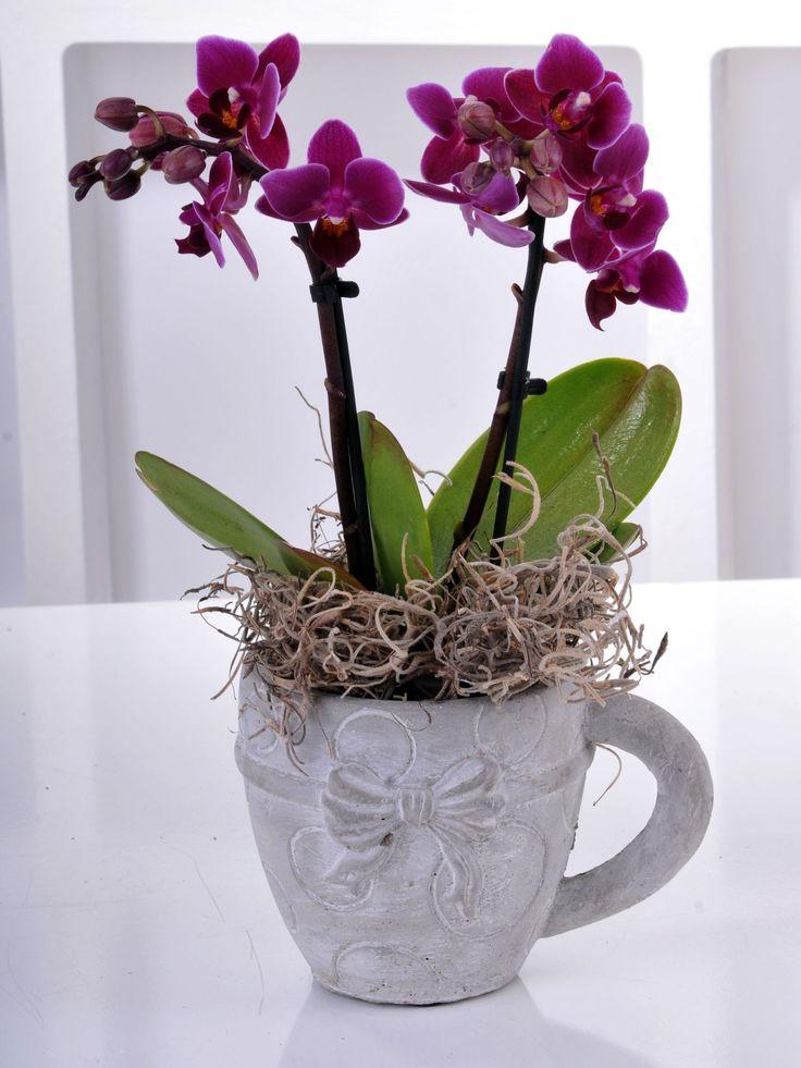 """2 Dallı Minyatür Orkide OR0038 """"2 Dallı Minyatür Orkide"""" Sevdiklerinize Özenle Hazırlanmış Orkide Gönderin! https://www.ciceknet.com/cicek/OR0038 #orkide #orkidesiparişi"""