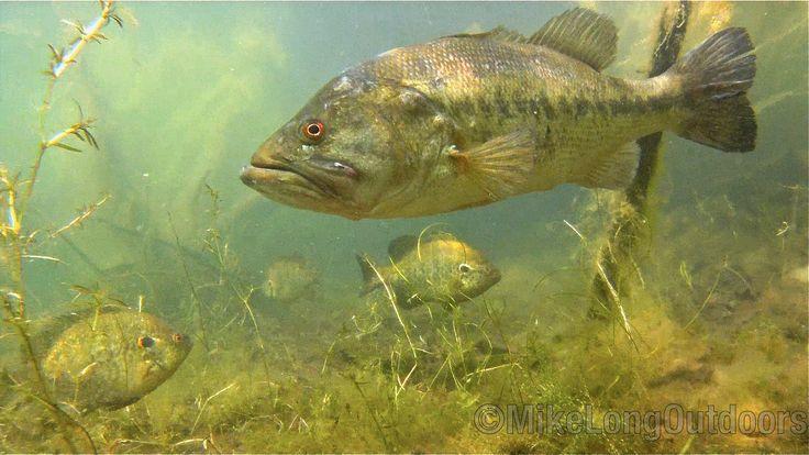 205 best Wildlife images on Pinterest | Wildlife art ... Largemouth Bass Pictures Underwater