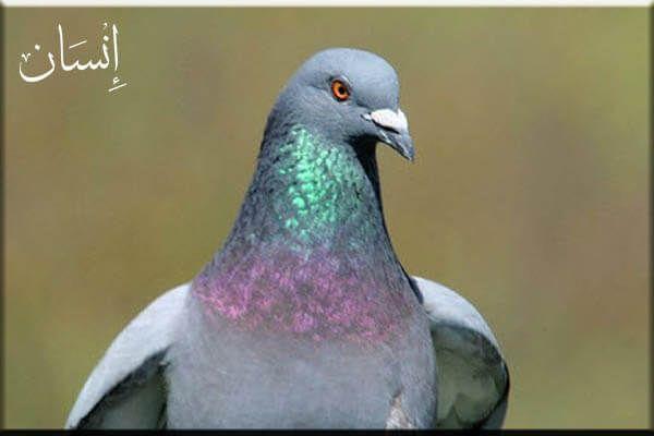 الحمام الزاجل مقدمة وفكرة بالصور عن ما لا تعرفه عن أنواع الحمام الزاجل إنسان In 2020 Types Of Pigeons Bird Wings Birds