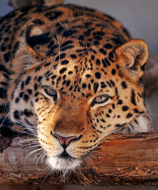 Relaxed leopard by Tambako the Jaguar on Flickr. | Big ...