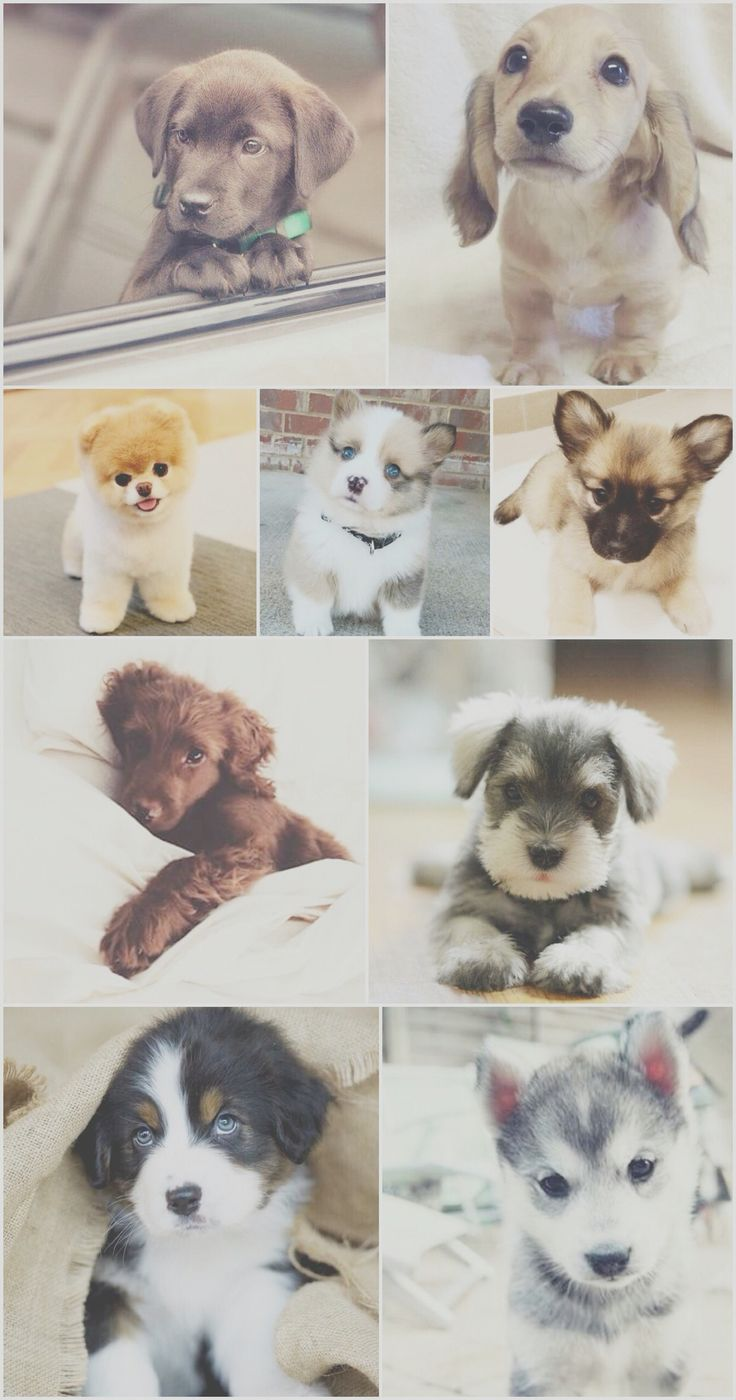 Cute Puppies Wallpaper Backgrounds Puppy Puppies Dog Dogs Wallpaper Background Iphone