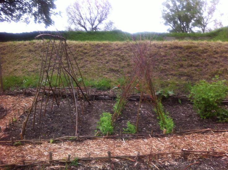 Goedkope manier om bonen en erwten te kweken. Gewone wilgentakken gebruiken.