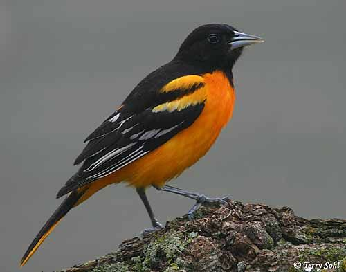 """The Baltimore Oriole (Icterus galbula) is a small icterid blackbird that commonly occurs in eastern North America as a migratory breeding bird. This bird received its name from the fact that the male's colors resemble those on the coat-of-arms of Lord Baltimore.""  Wikipedia"