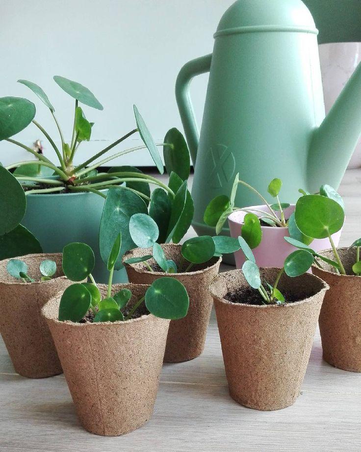 GM 🌿 Mijn Pilea urbanjungle, wat zijn ze schattig! Dagje werken voor de boeg en jullie? Ik heb voor het eerst een jurkje aan met blote benen maar ik wordt nooit zo snel bruin 😕 altijd even zo'n fase waar je dan doorheen moet hihi. Er zijn nog 2 stekjes over trouwens, dus mocht je interesse hebben? Fijne dag! 🌱😘🌸 #wittebenen #pileapeperomioides #pilea #green #urbanjungle #greenliving #xala #spring #plants #plantsofinstagram #scandinavianliving #scandi #interieurinspiratie #interior…