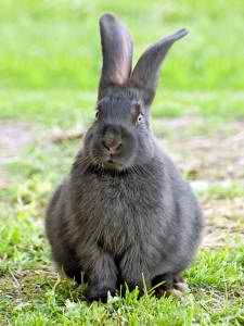 10 best breeds of rabbits for homestead meat. Do you know rabbit meat is rich in protein but lower in fat and cost than chicken, beef or pork?