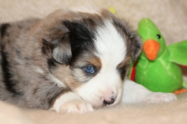 Mini Australian Shepherd Puppy with Cuddly Toy